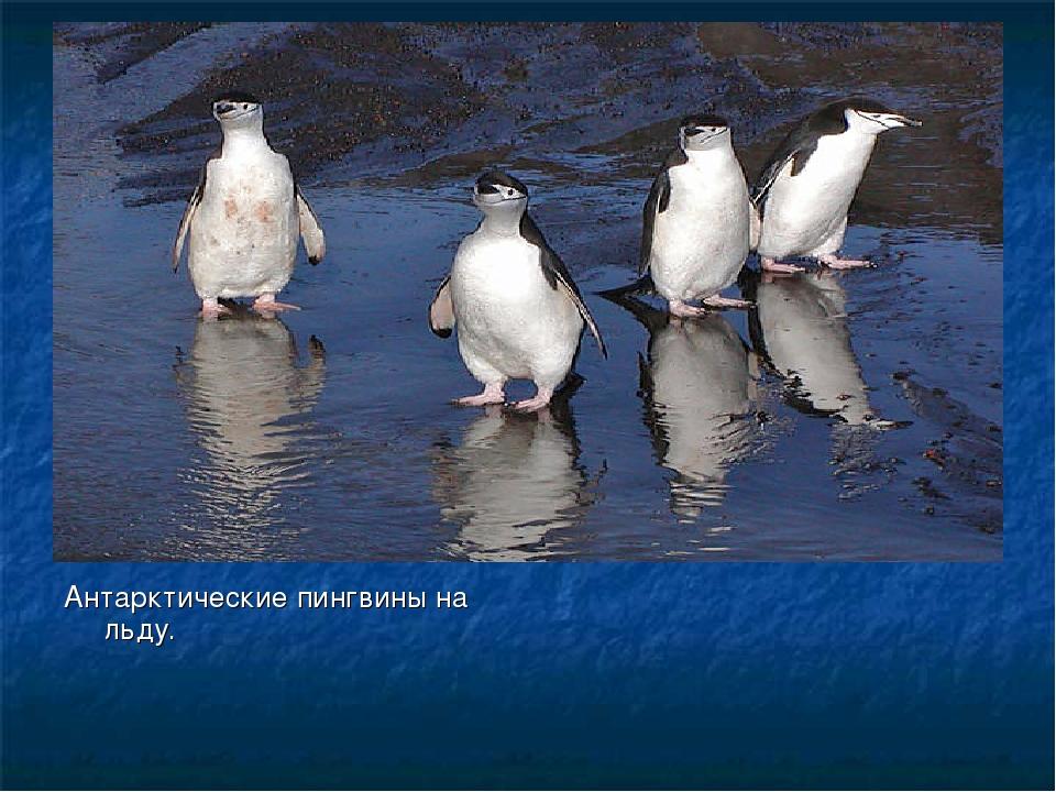 Антарктические пингвины на льду.