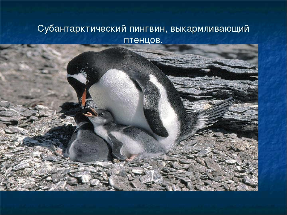 Субантарктический пингвин, выкармливающий птенцов.