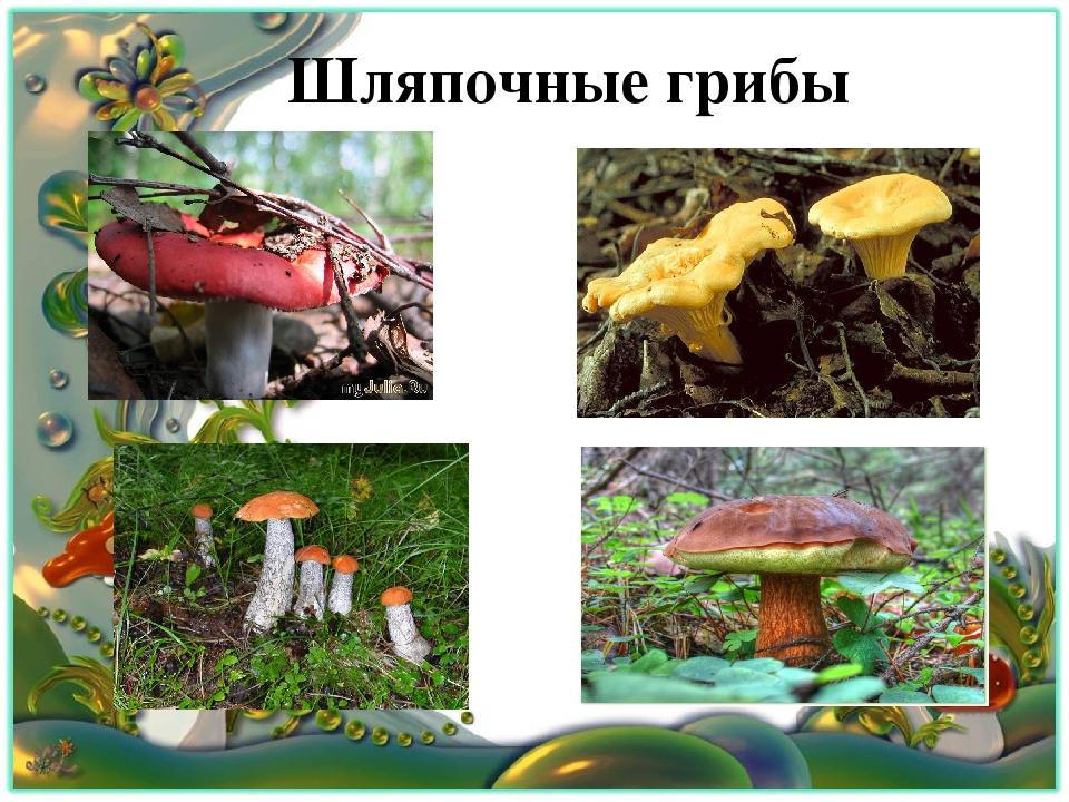 грибы шляпочные картинки коллекции представлены покрытия