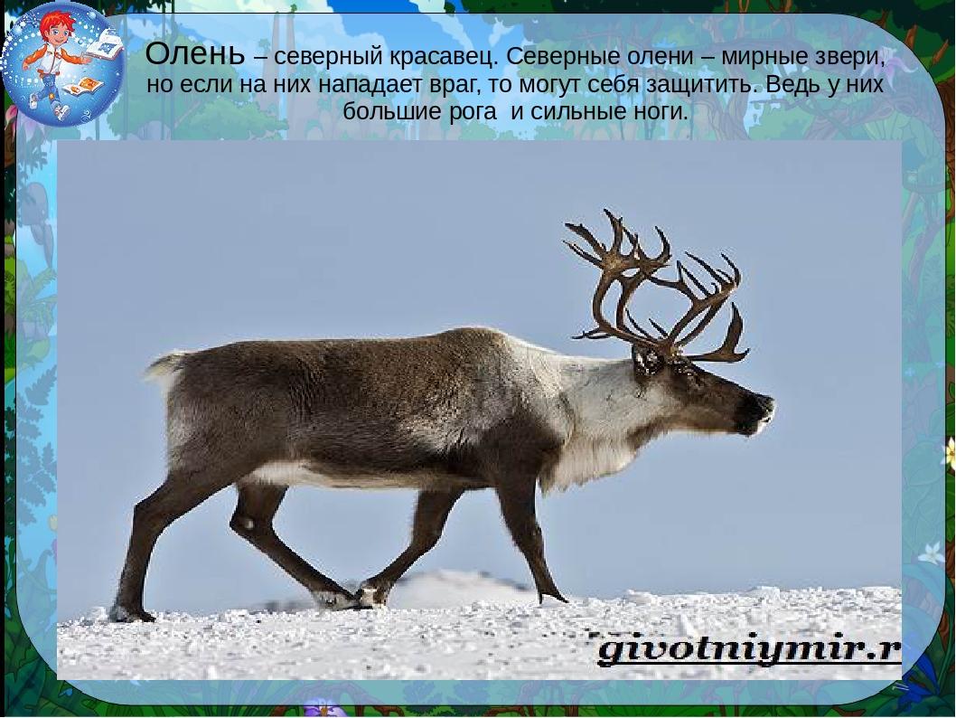 Северный олень из красной книги россии