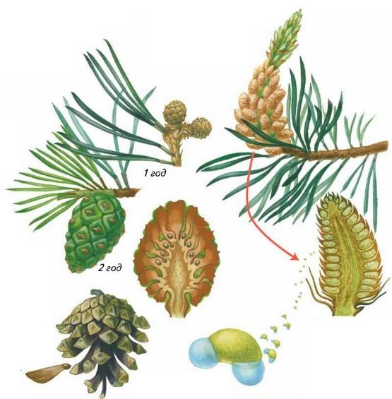 Картинка семени сосны