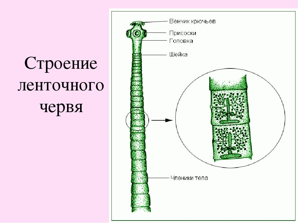 Ленточные черви строение картинка