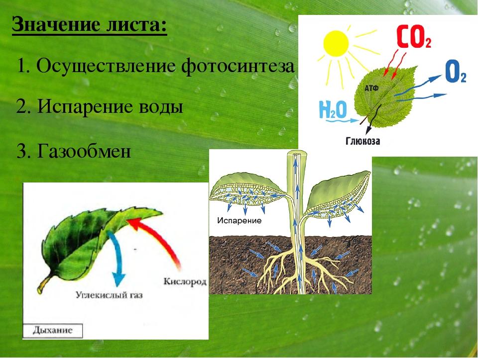 Способны ли побеги шиповника к фотосинтезу будь сама