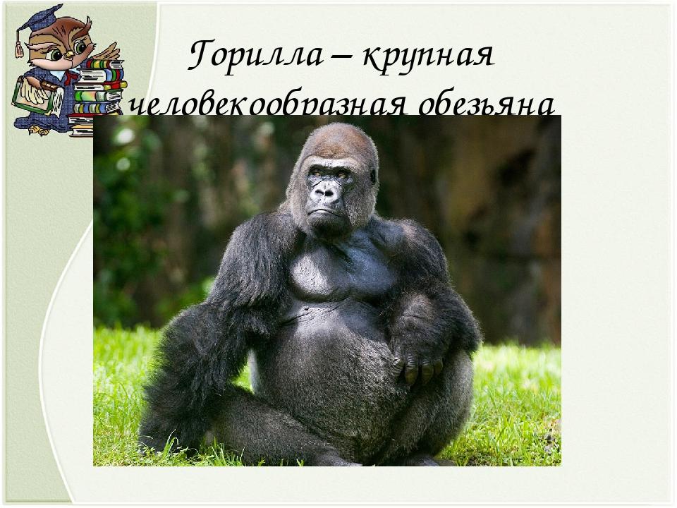 Горилла – крупная человекообразная обезьяна
