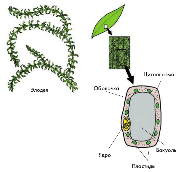 Рисунок в клетке листа элодеи