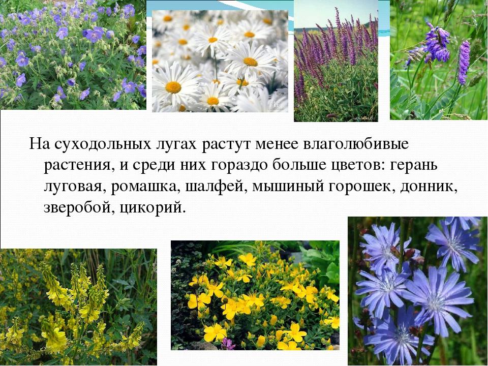 Луговые растения курского края названия и фото