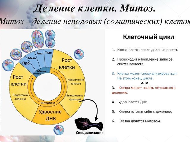 Деление клетки митоз конспект