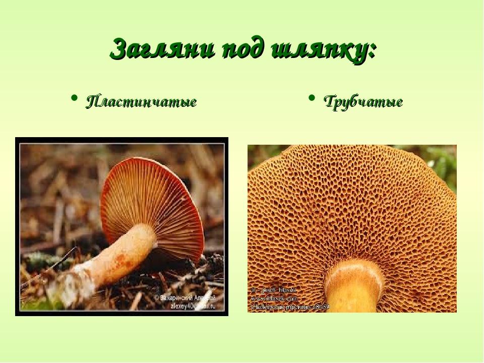 древний виды трубчатых грибов фото и описание является