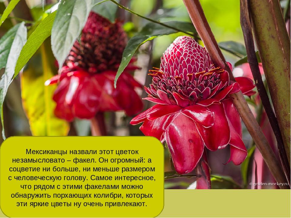 Мексиканцы назвали этот цветок незамысловато – факел. Он огромный: а соцветие...