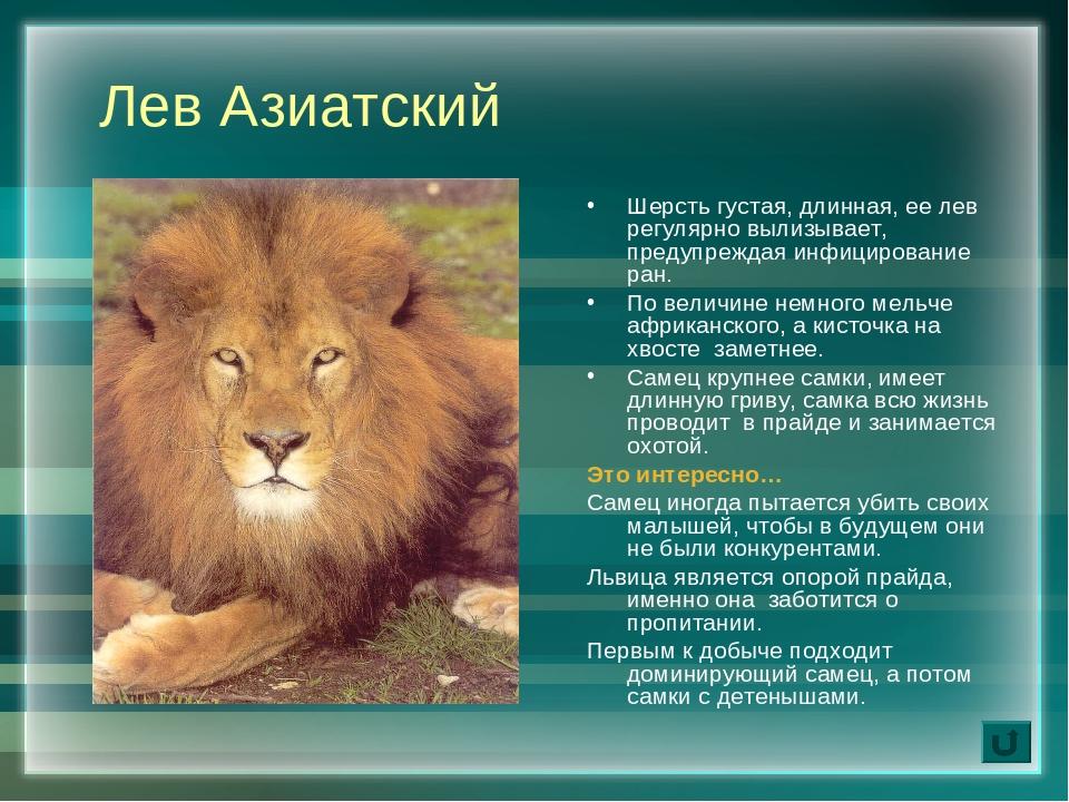 его львы фото и описание момента