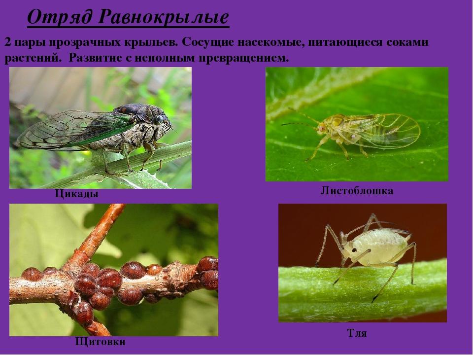 Отряд Равнокрылые 2 пары прозрачных крыльев. Сосущие насекомые, питающиеся со...