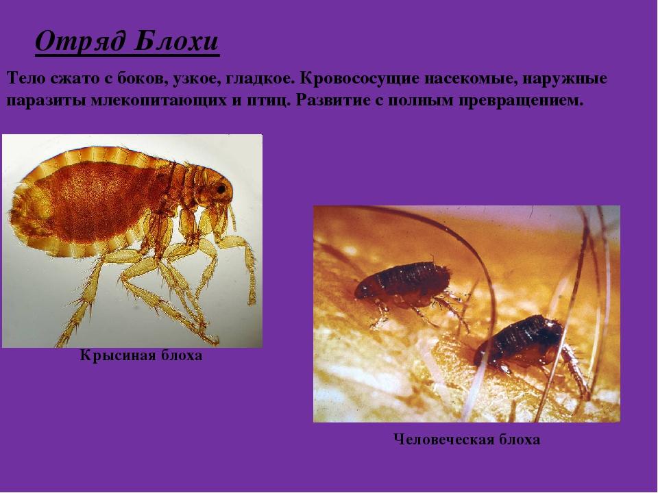 Отряд Блохи Тело сжато с боков, узкое, гладкое. Кровососущие насекомые, наруж...