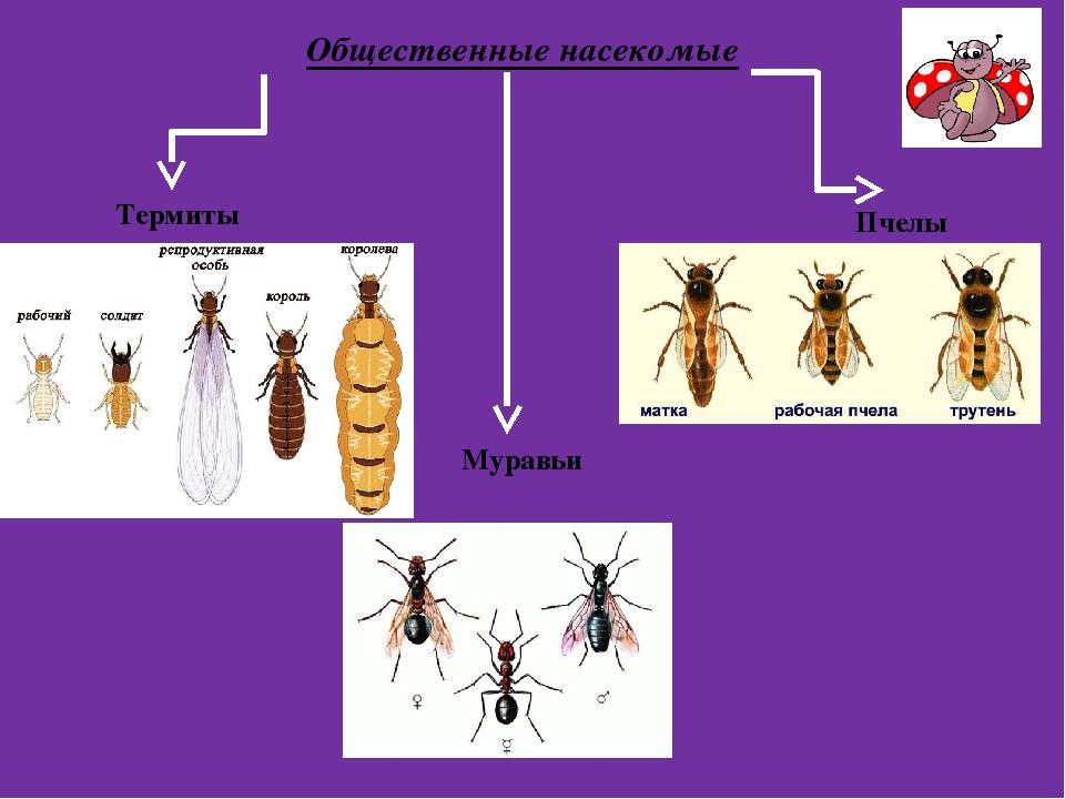 Общественные насекомые Термиты Муравьи Пчелы