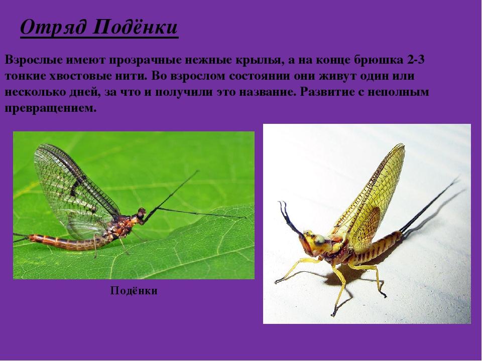 Отряд Подёнки Взрослые имеют прозрачные нежные крылья, а на конце брюшка 2-3...