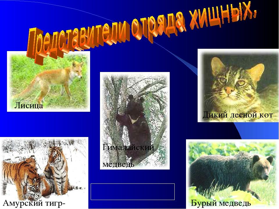 Амурский тигр- Бурый медведь Дикий лесной кот Лисица Гималайский медведь