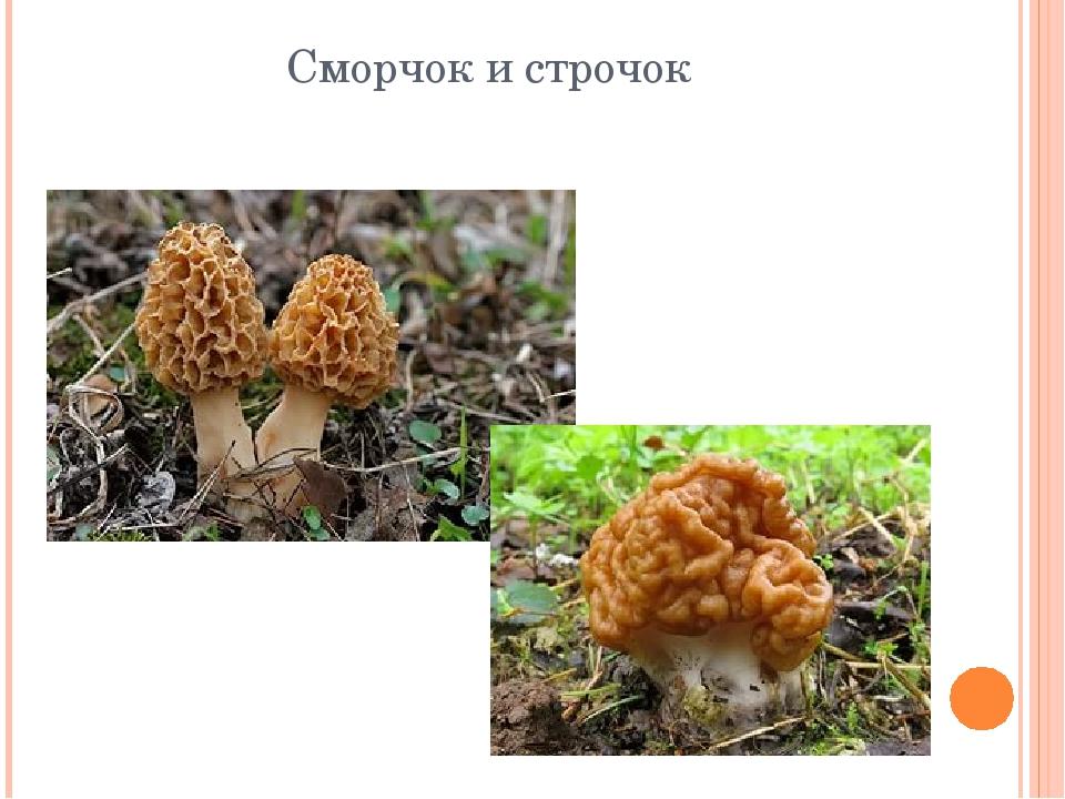 грибы строчки фото и описание белых глянцевых