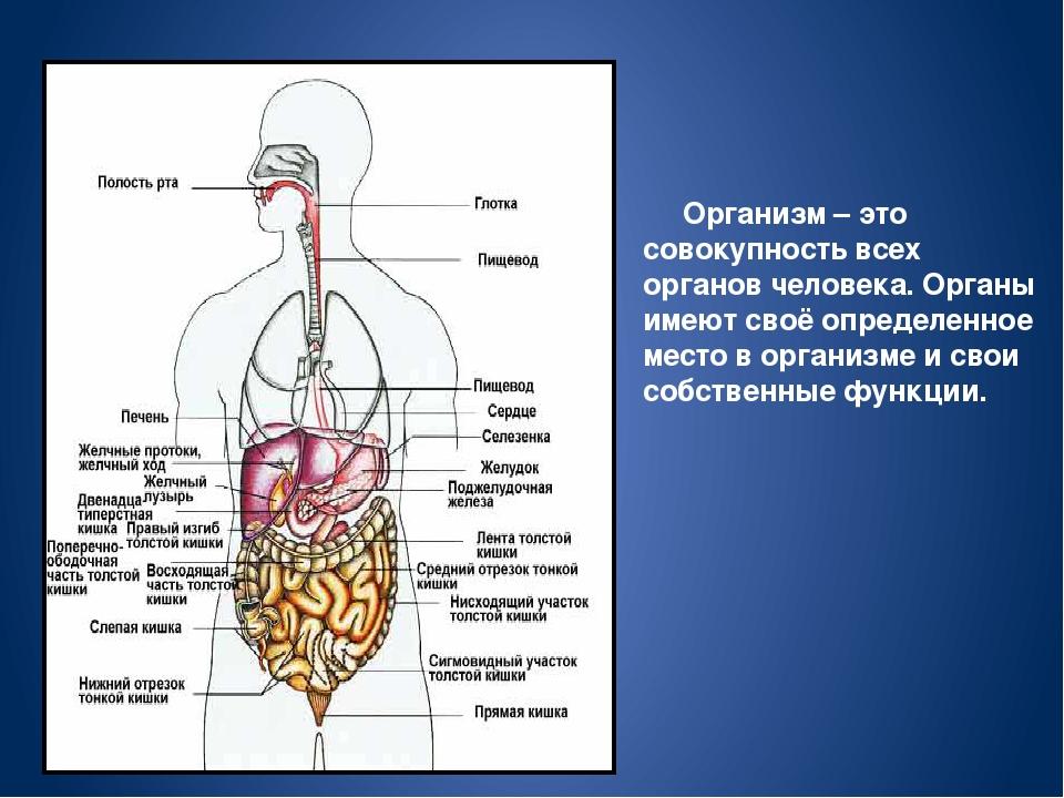 Доклад на тему внутренние органы человека 4649