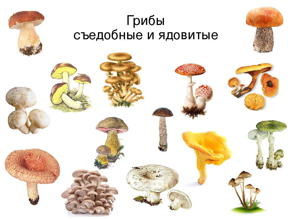 какие бывают грибы картинки и названия всё дело