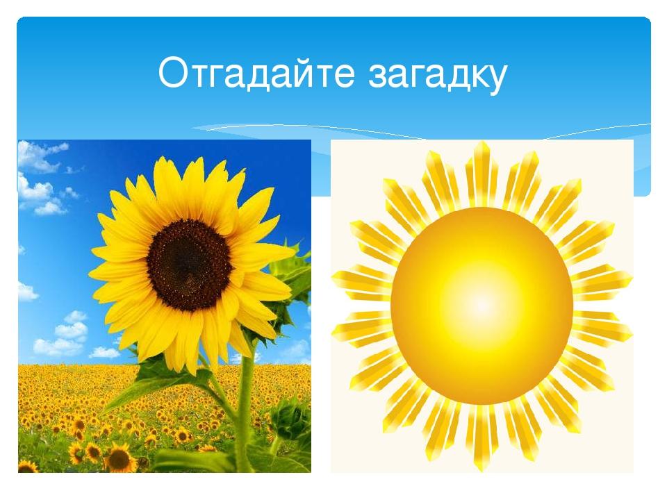 Отгадайте загадку В огороде у дорожки Стоит солнышко на ножке, Только жёлтые...