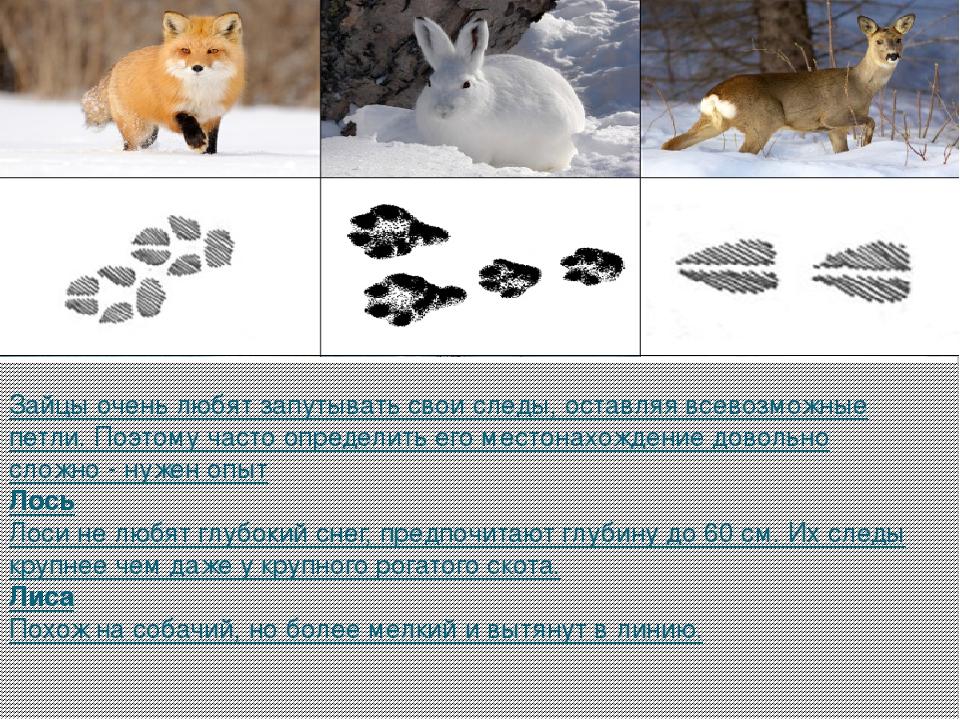 следы животных на снегу фото с названиями этой