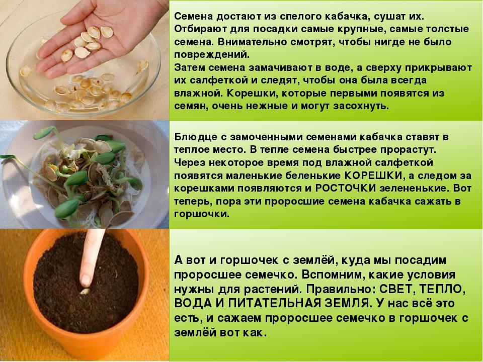 Как сажают семя кабачка 422