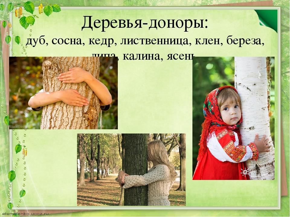 Деревья-доноры: дуб, сосна, кедр, лиственница, клен, береза, липа, калина, яс...
