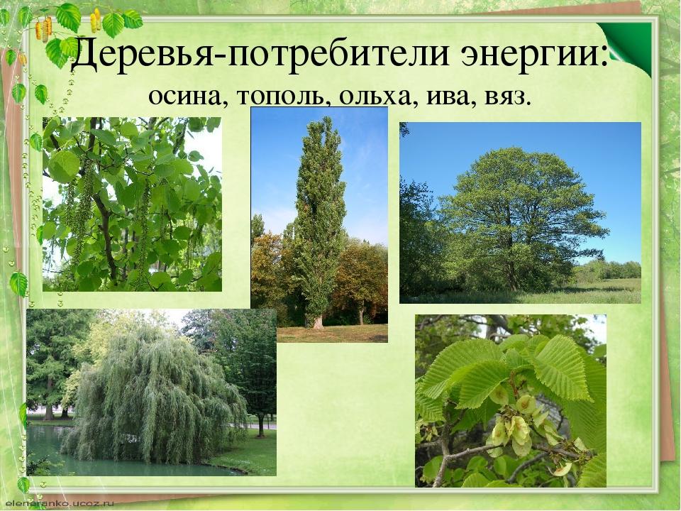 Деревья-потребители энергии: осина, тополь, ольха, ива, вяз.