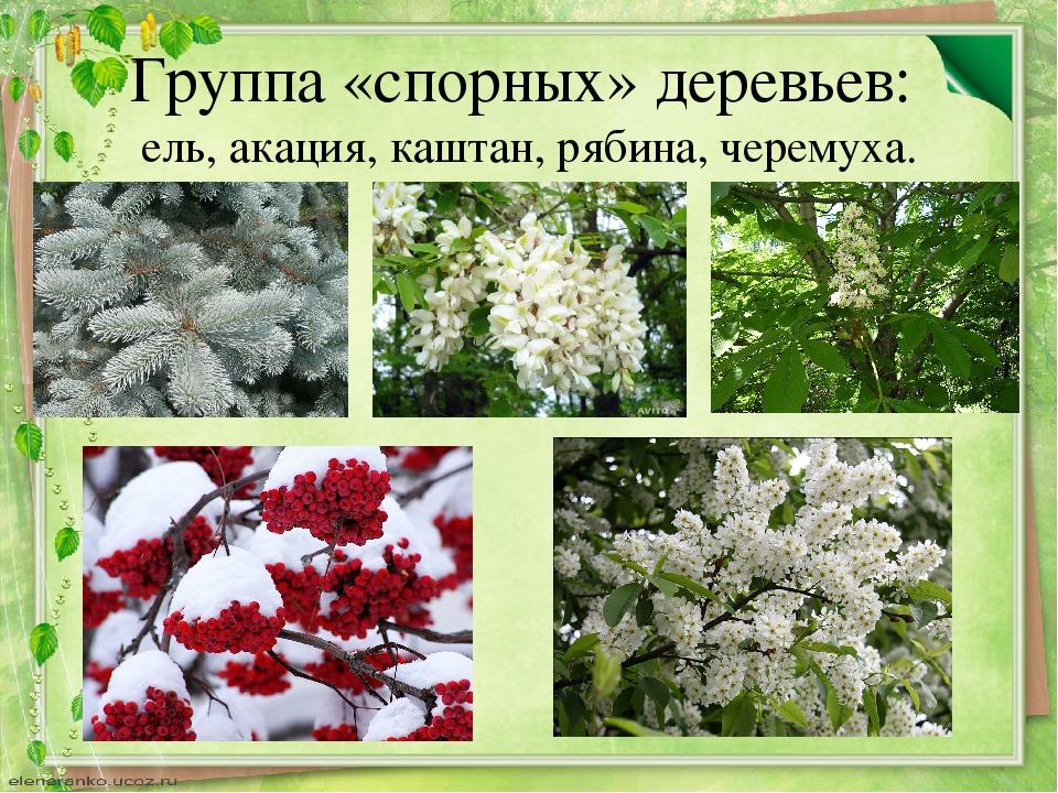 Группа «спорных» деревьев: ель, акация, каштан, рябина, черемуха.
