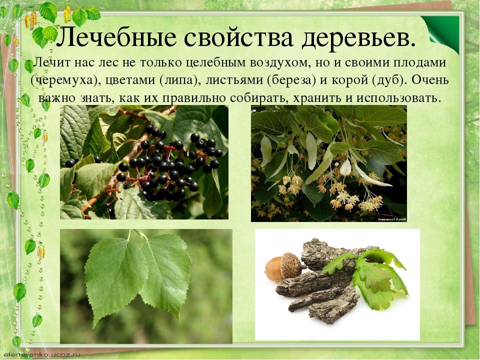 Лечебные свойства деревьев. Лечит нас лес не только целебным воздухом, но и с...