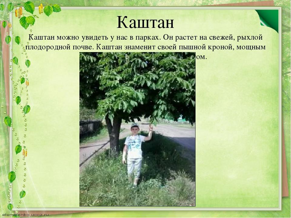 Каштан Каштан можно увидеть у нас в парках. Он растет на свежей, рыхлой плодо...
