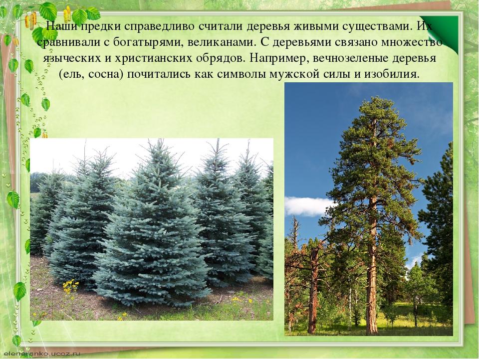 Наши предки справедливо считали деревья живыми существами. Их сравнивали с бо...