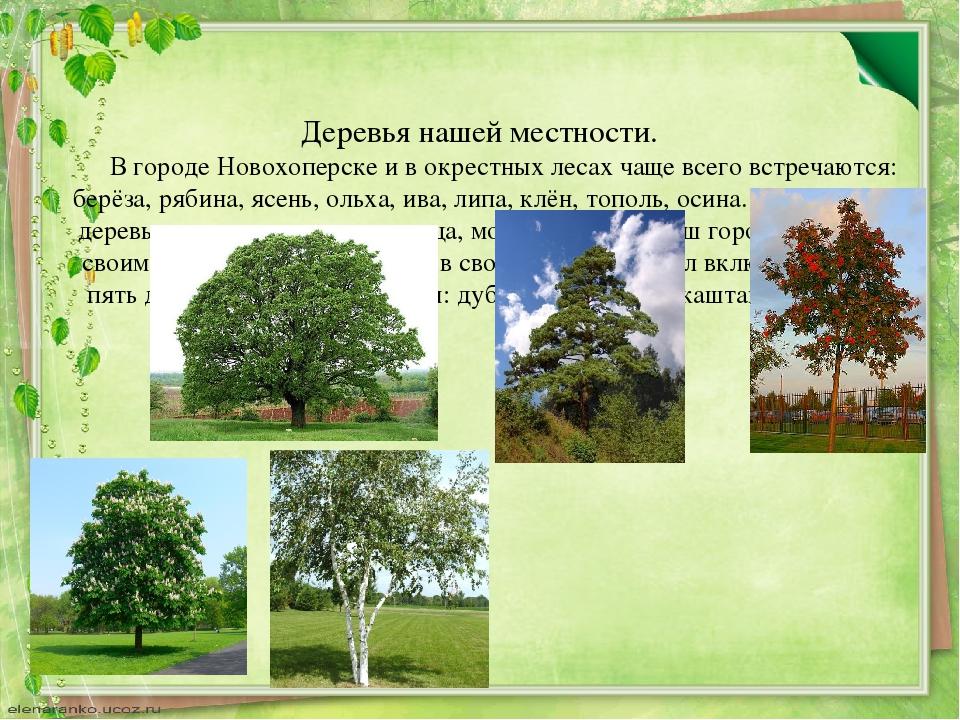 Деревья нашей местности. В городе Новохоперске и в окрестных лесах чаще все...