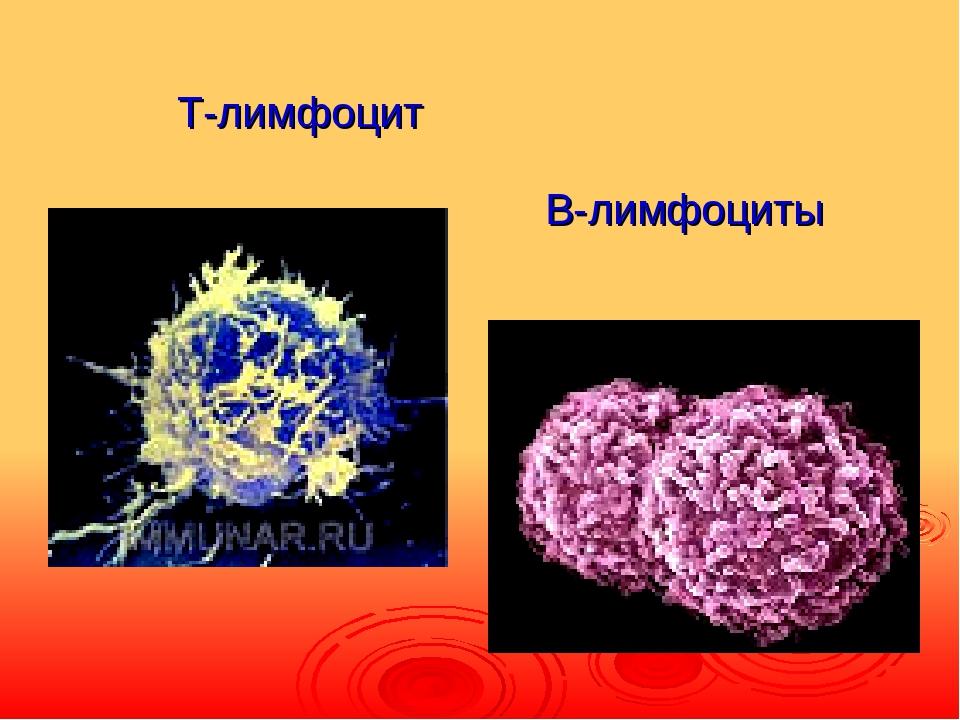 Т-лимфоцит B-лимфоциты
