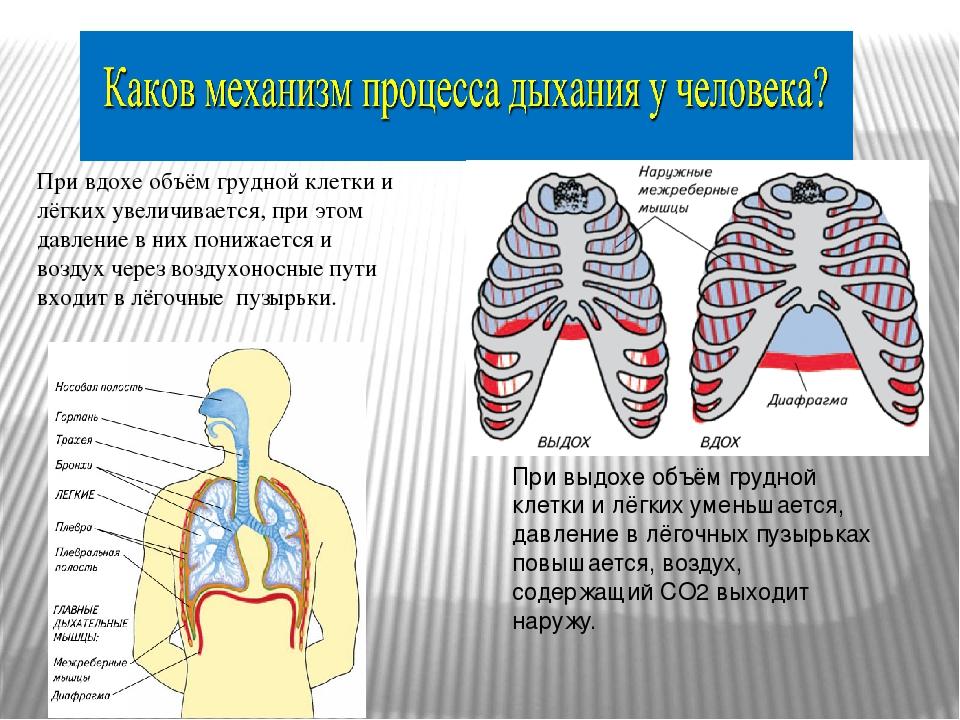 При вдохе объём грудной клетки и лёгких увеличивается, при этом давление в ни...