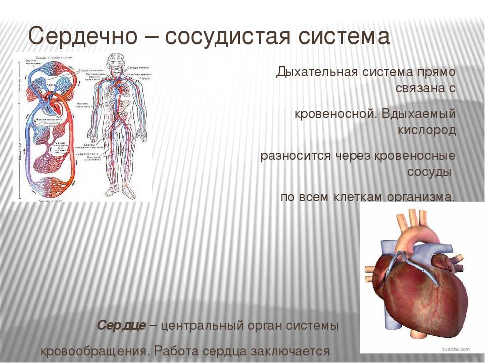 Сердечно – сосудистая система Дыхательная система прямо cвязана с кровеносно...