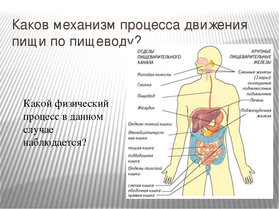 Каков механизм процесса движения пищи по пищеводу? Какой физический процесс в...