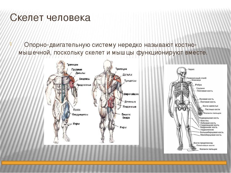 Скелет человека Опорно-двигательную систему нередко называют костно-мышечной,...