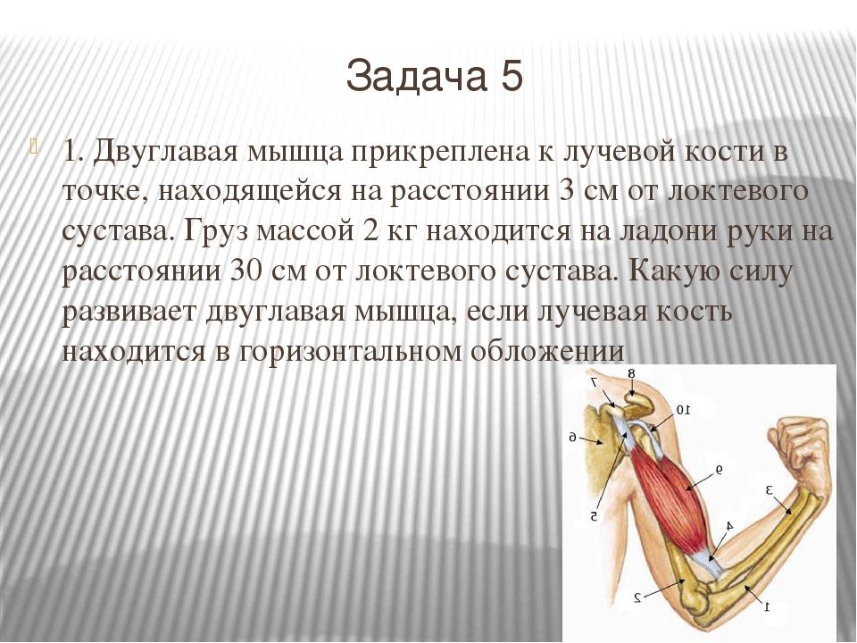 Задача 5 1. Двуглавая мышца прикреплена к лучевой кости в точке, находящейся...