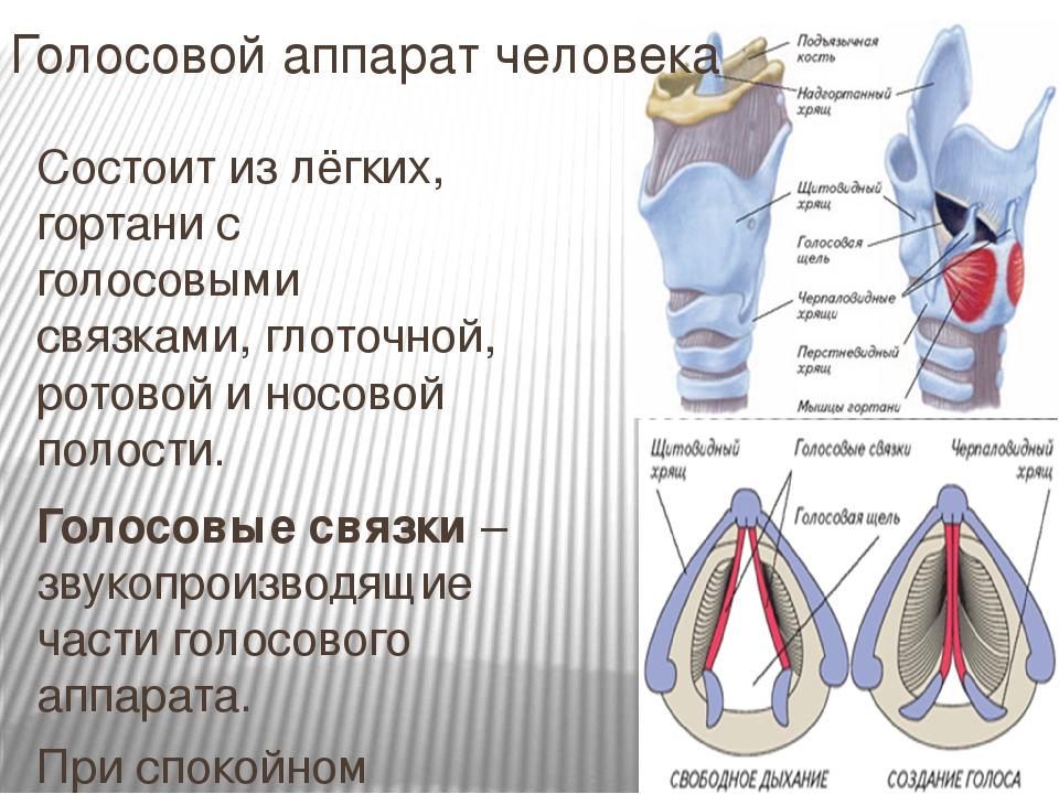 Голосовой аппарат человека Состоит из лёгких, гортани с голосовыми связками,...