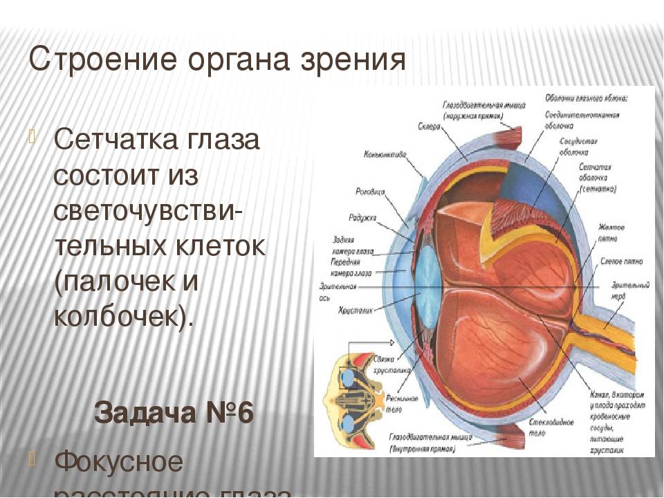 Строение органа зрения Сетчатка глаза состоит из светочувстви-тельных клеток...