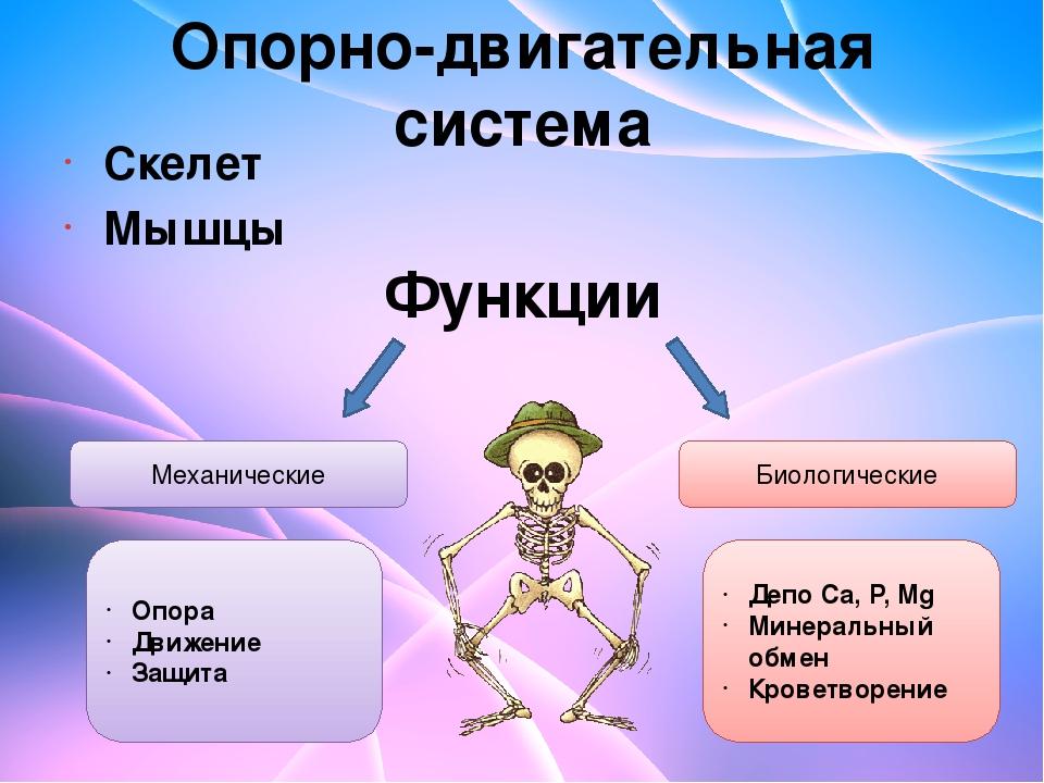 Опорно-двигательная система Скелет Мышцы Функции Механические Биологические О...