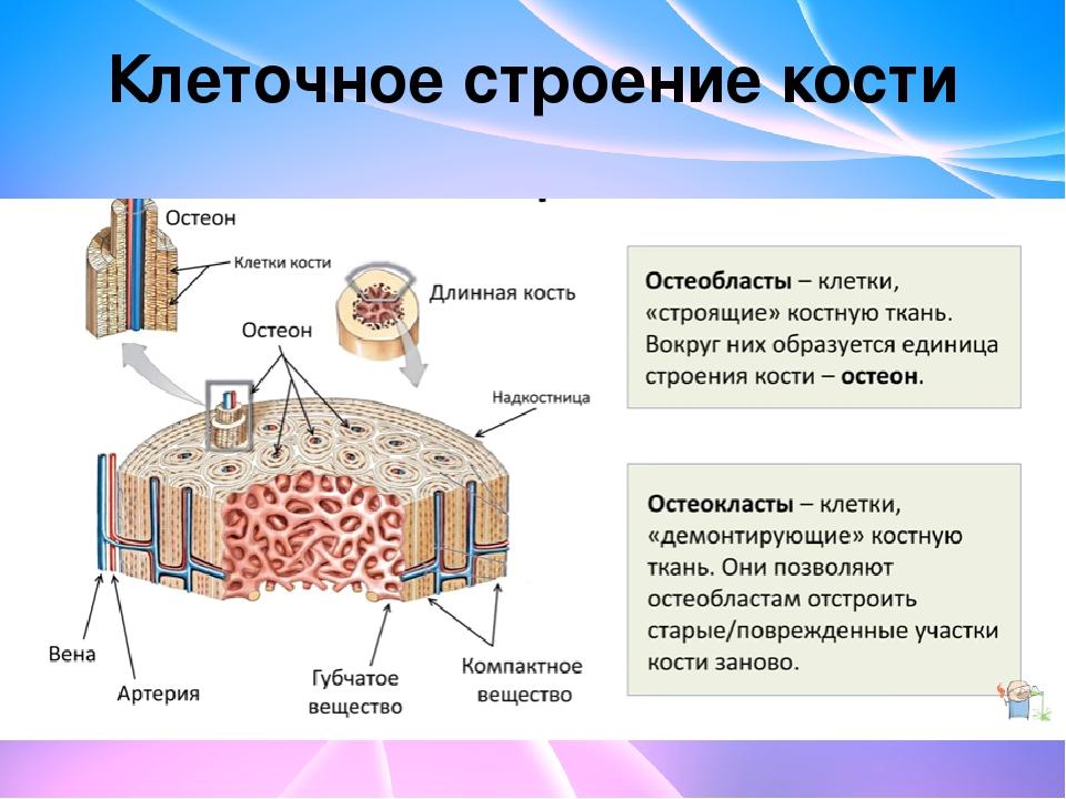 Клеточное строение кости