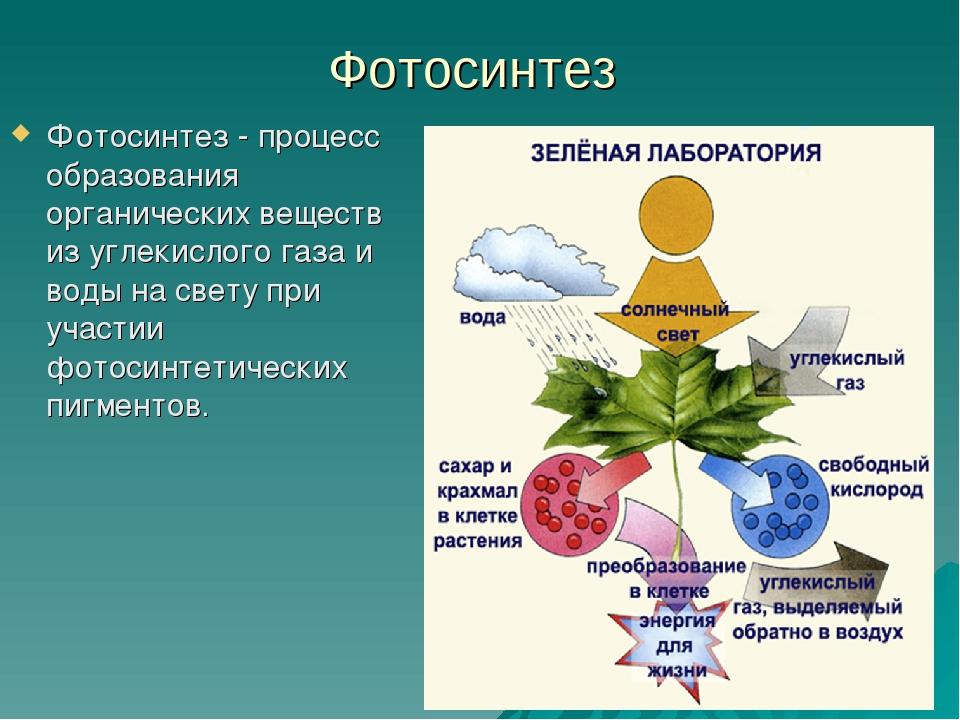 Фотосинтез Фотосинтез - процесс образования органических веществ из углекисло...