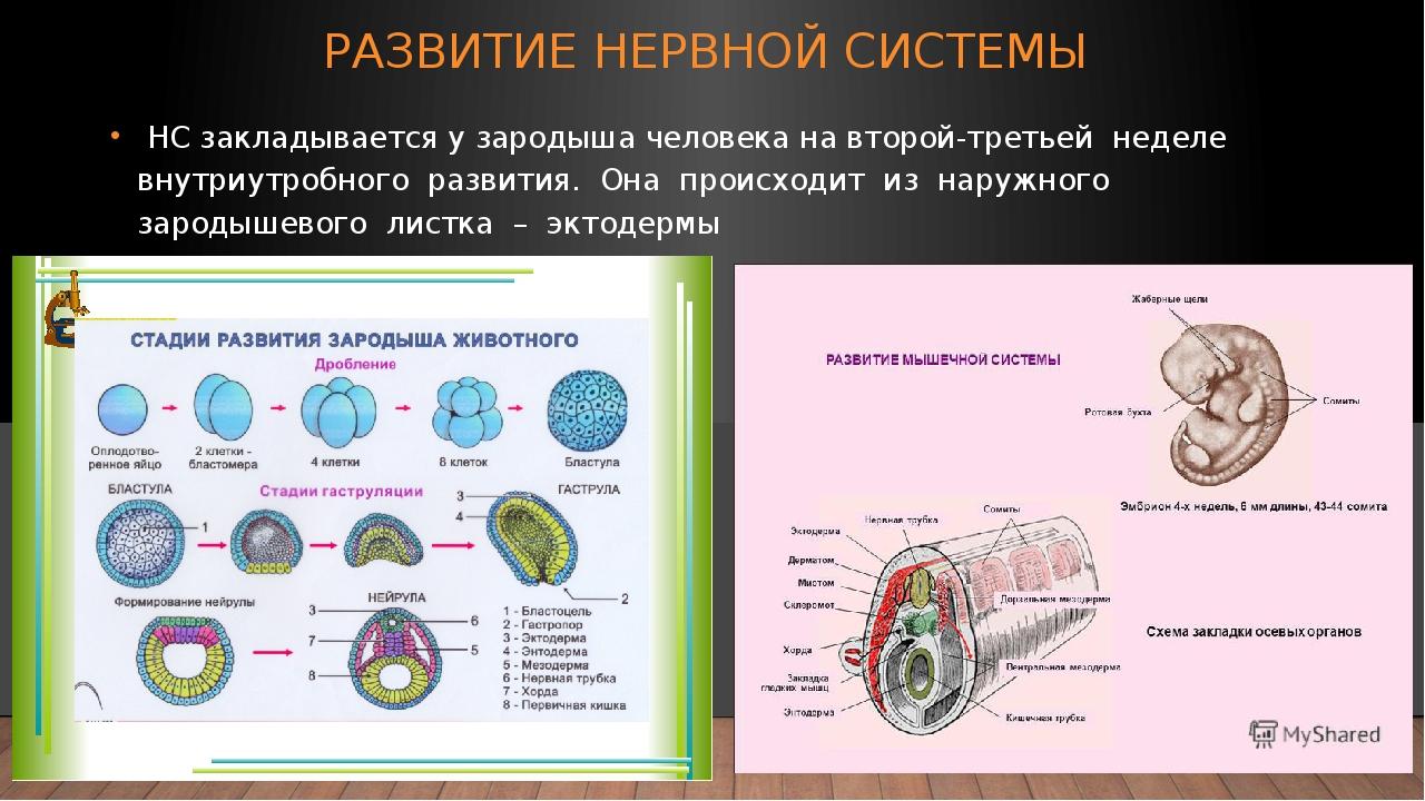 РАЗВИТИЕ НЕРВНОЙ СИСТЕМЫ НС закладывается у зародыша человека на второй-треть...