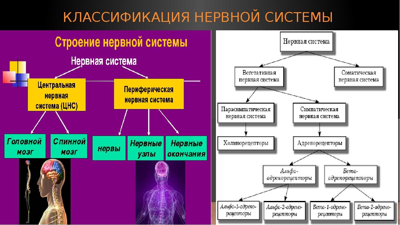 КЛАССИФИКАЦИЯ НЕРВНОЙ СИСТЕМЫ