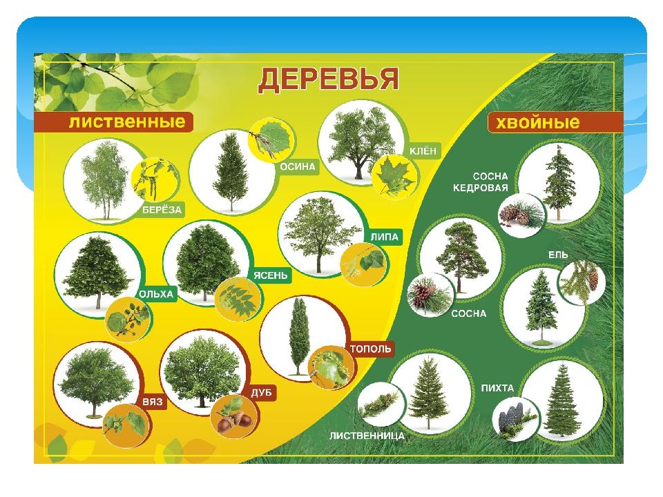 лиственные деревья россии фото и названия балки железобетонные используются