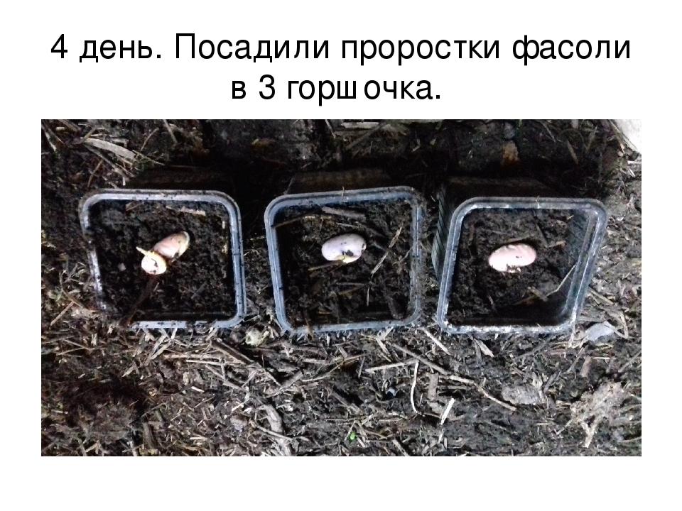 4 день. Посадили проростки фасоли в 3 горшочка.