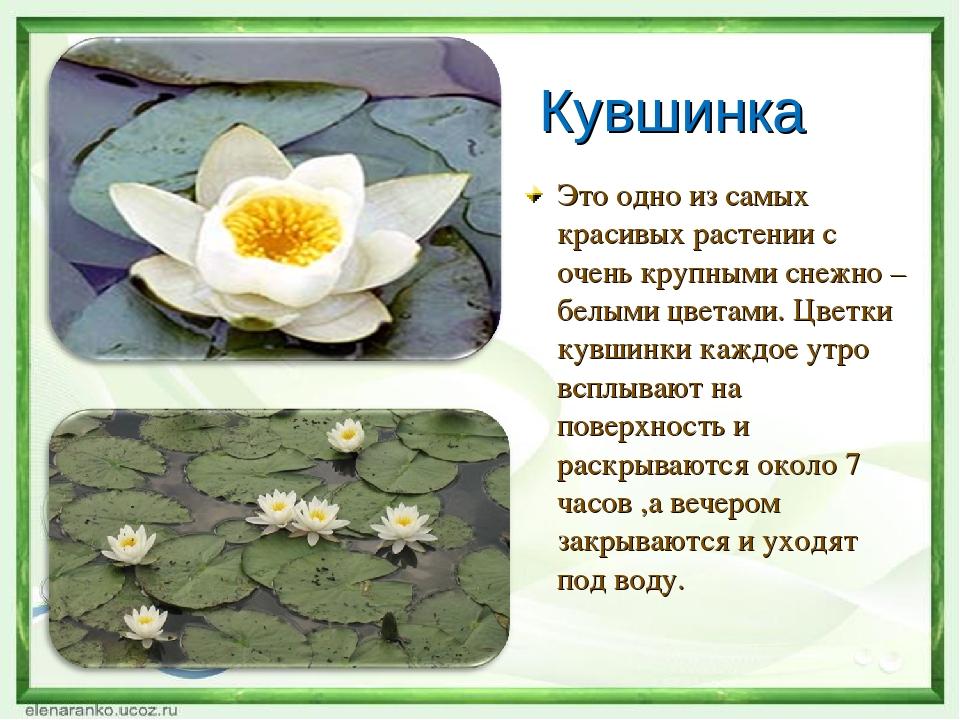 Страница красной книги россии с кувшинкой белой сделать