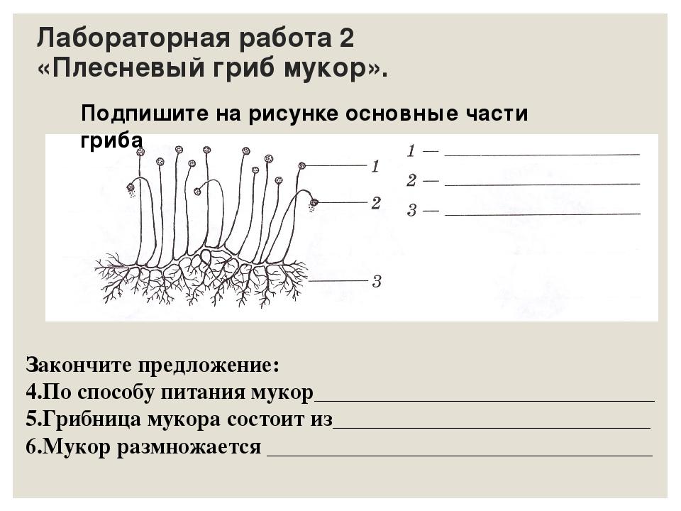 Лабораторная работа 2 «Плесневый гриб мукор». Подпишите на рисунке основные ч...
