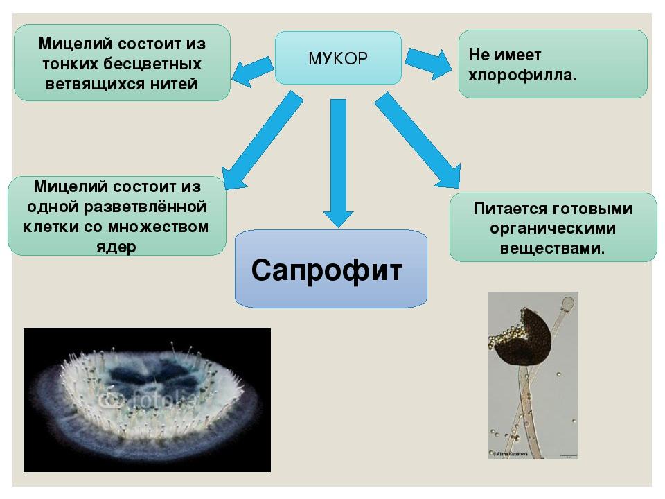 МУКОР Мицелий состоит из одной разветвлённой клетки со множеством ядер Не име...
